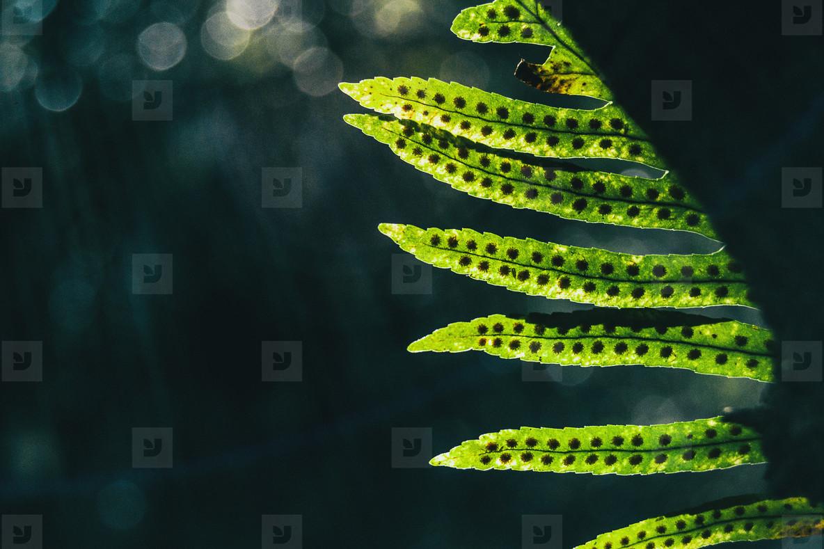 Detail of polypodium plant