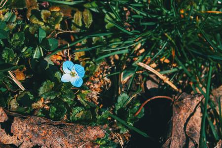 Close up of a blue veronica persica flower