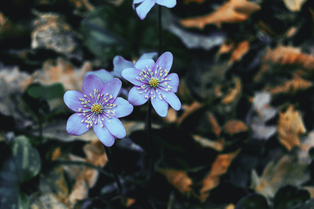 Close up of two purple anemone hepatica flowers