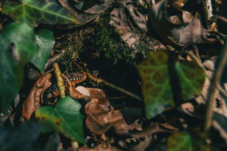 Close up of a newt