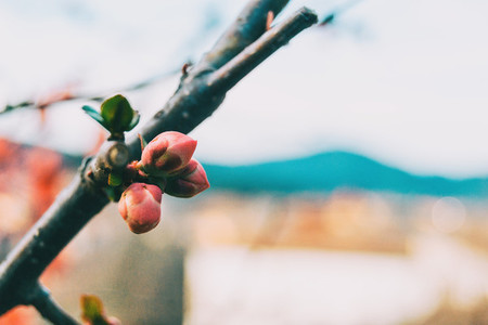 Close up of three pink buds of chaenomeles japonica