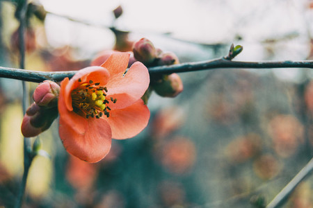 Close up of a pink chaenomeles japonica flower
