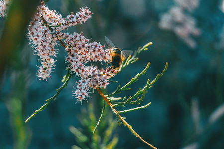 Close up of a bee pollinating tamarix chinensis flowers