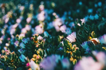 Close up of a delosperma cooperi flower