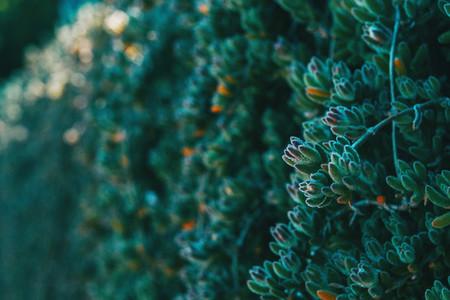 Close up of a bud of delosperma cooperi