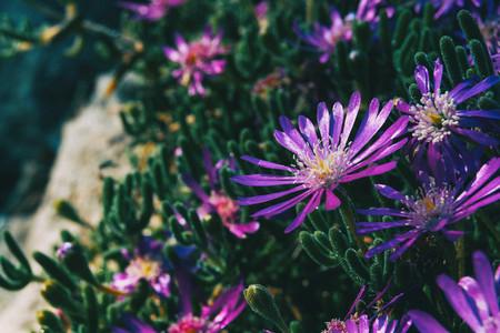 Close up of some purple flowers of delosperma cooperi