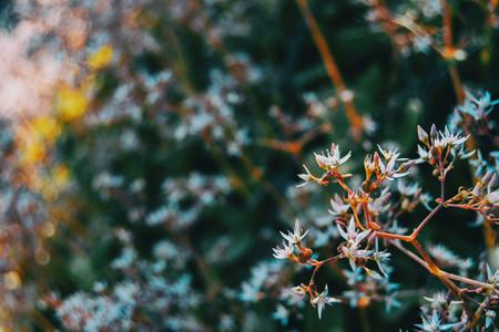 Close up of some buds and white flowers of sedum album