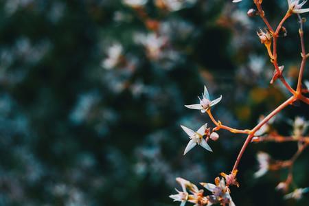 Detail of two white sedum album flowers on a branch