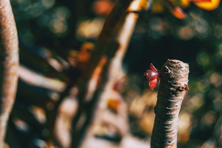 Close up of a red sprout of aeonium arboreum