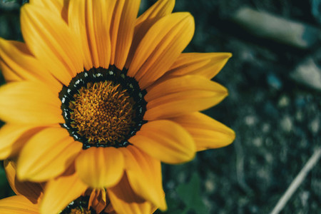 Macro of a yellow flower of gazania rigens