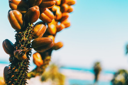 Detail of some brown fruits growing on a stalk