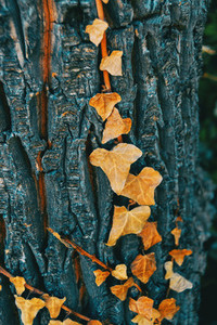 Climbing plant  hedera helix