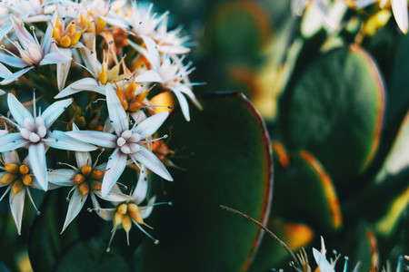 Close up of a bunch of white flowers of sedum album