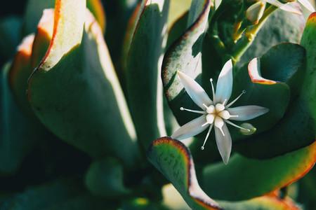 Close up of a single white flower of sedum album