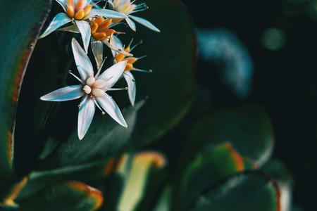 Close up of a white flower of sedum album