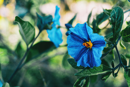 Close up of a blue flower of solanum laciniatum