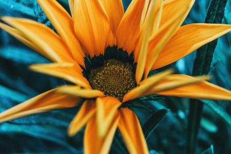Detail of a yellow flower of gazania rigens