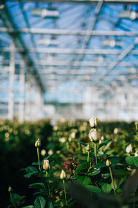 Greenhouse roses growing under daylight