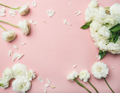 Flat lay of white ranunculus flowers light pink background