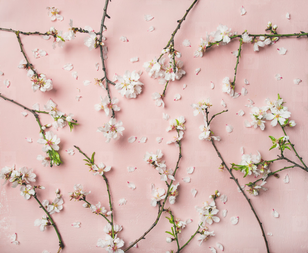 Photos Spring Almond Blossom Flowers Over Light Pink Background