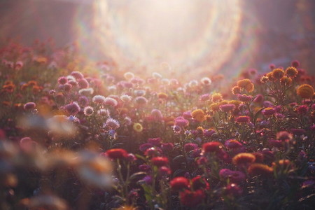 Colorful Paper Daisy flowers