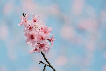 Cherry Blossom 09