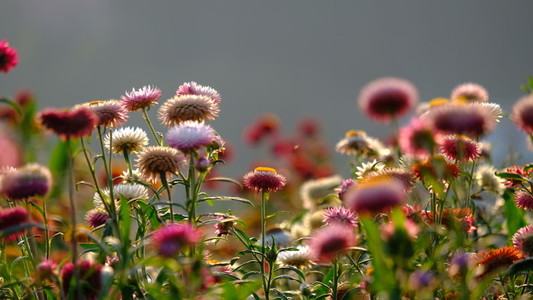 Straw flowers 165458