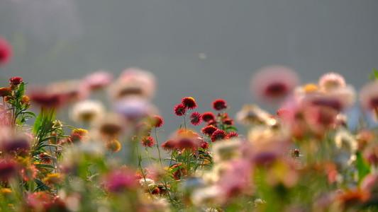 straw flowers 165459