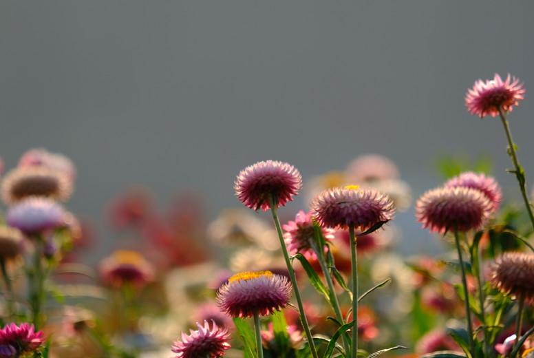Straw flowers 165460