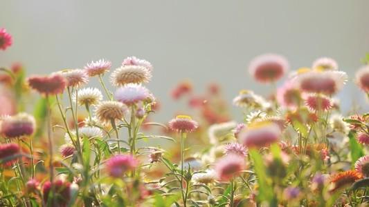 Straw flowers 165461