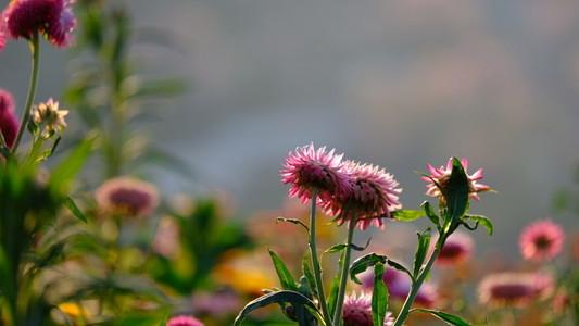 Straw flowers 165462