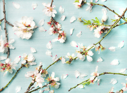 Spring floral background with white almond flowers and petals