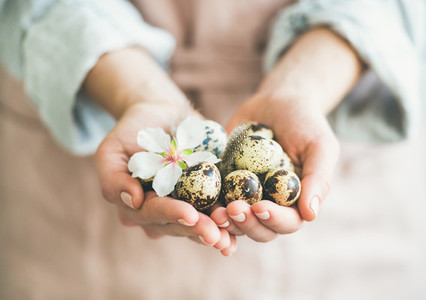 Quail eggs and almond blossom flower in hands of woman
