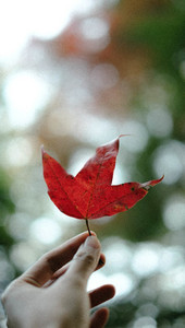 Red maple leaf in a woman hand