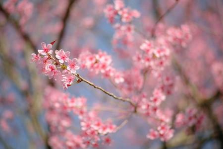 Cherry Blossom 15