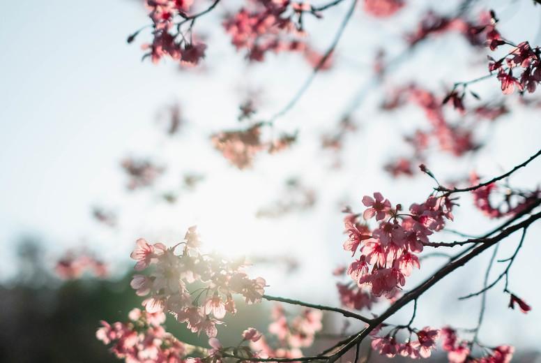 Cherry Blossom 16
