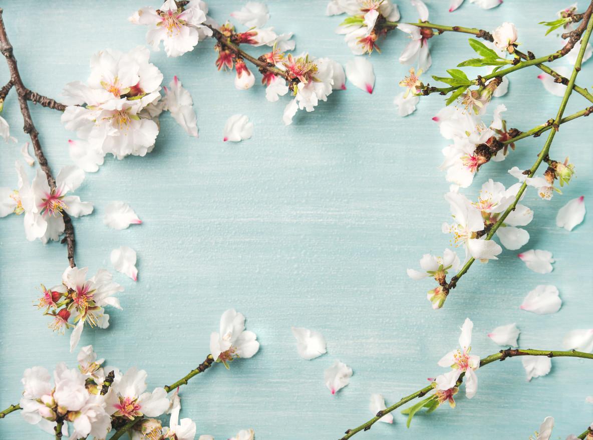 Spring almond blossom flowers over light blue background