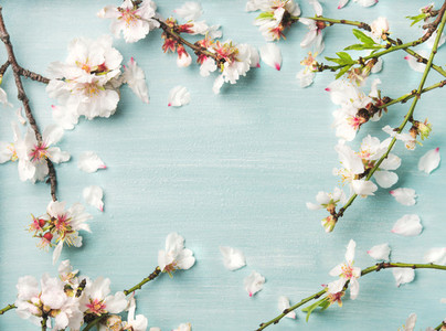 Spring almond blossom flowers over light blue background