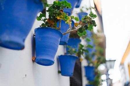 Begonia flowers in blue pots