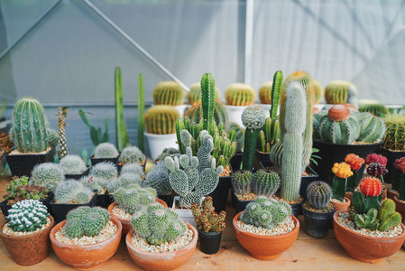 Many of various cactus plants on the pot at agriculture greenhou