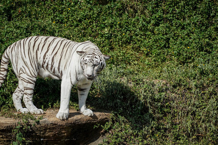 White tiger standing on the edge of rock in the natural zoo