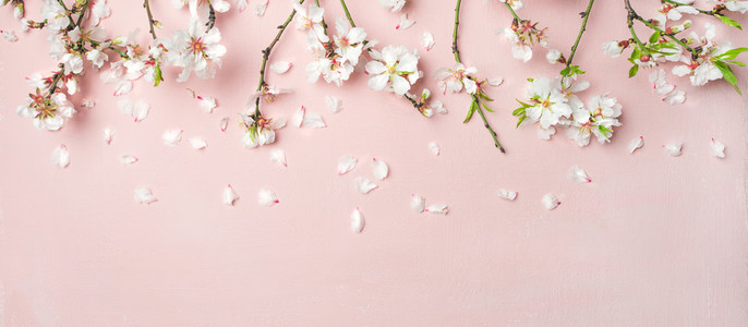 Spring almond blossom flowers over light pink background  wide composition