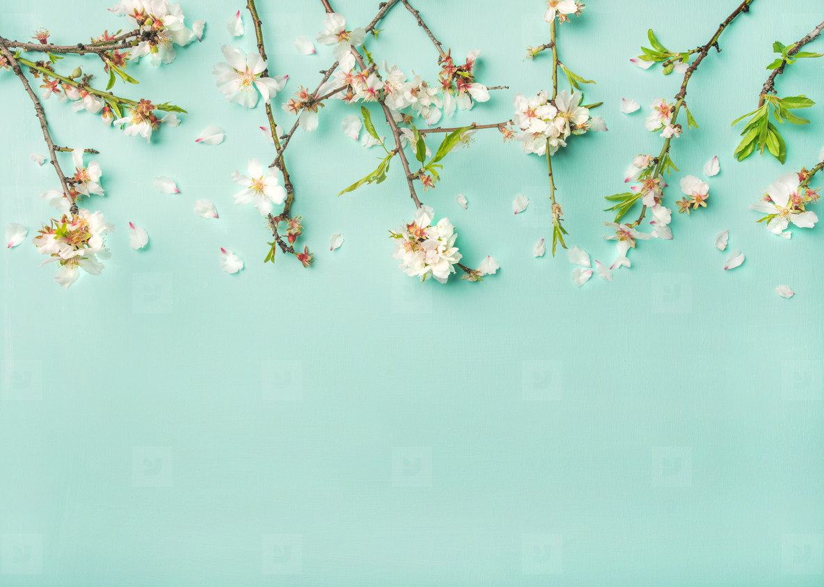 Spring almond blossom flowers over light blue background  copy space