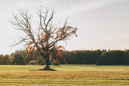 Old tree with orange and red leaves in the sunset germany field