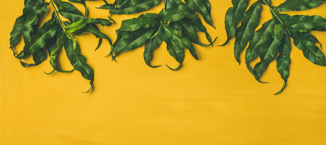 Tropical tree green leaves over bright yellow background wide composition