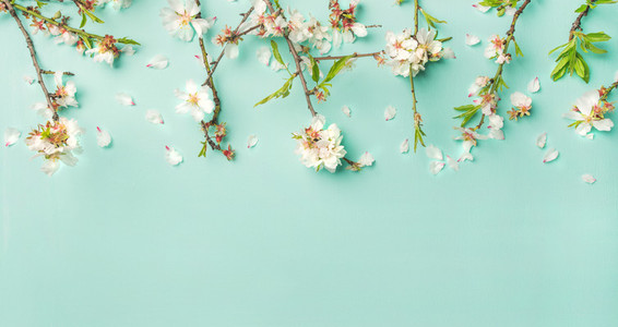 Spring almond blossom flowers over light blue background wide composition