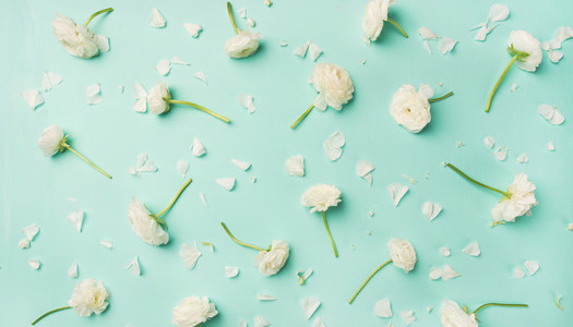 Flat lay of white ranunculus flowers over blue background  wide composition