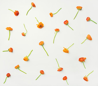 Flat lay of orange buttercup flowers over white background horizontal composition