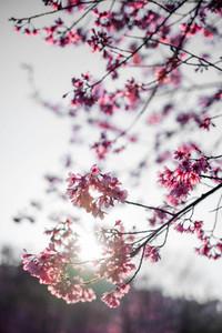 Cherry Blossom 21