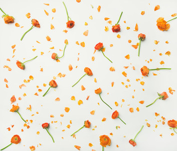 Flat lay of orange buttercup flowers over white background top view